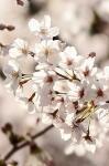 hahumesakura.jpg